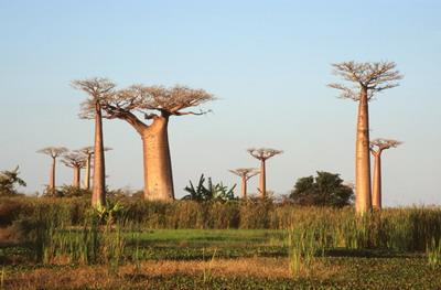 Baobab de Monrondava - Madagascar - © Régis Hocdé
